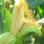 Чем полезны кукурузные рыльца и рец...