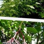Полезные свойства ягод бузины