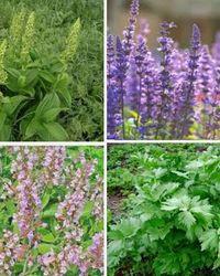 лекарственные растения на огороде и в саду