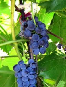 Виноградный компот