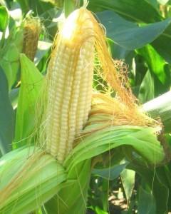 лечебные кукурузные рыльца