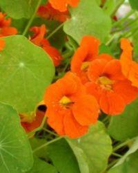 цветы в пищу