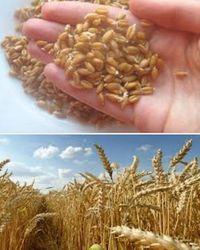 пшеница полезные свойства