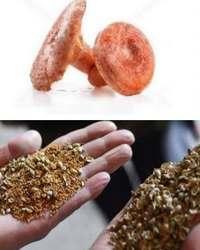 рыжик полезный гриб