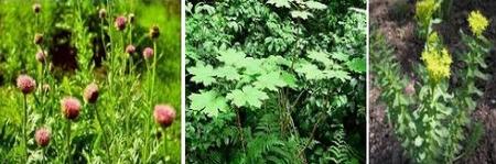 адаптогены - левзея сафлоровидная заманиха родиола розовая