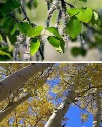 Осина – признанное целительное дерево