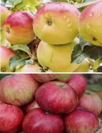 Яблоки – вкусные и крайне необходимые организму плоды